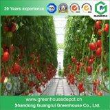 Invernadero barato del tomate de la película plástica