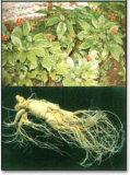 Порошок выдержки женьшень 100% естественный Panax Anti-Fatigue