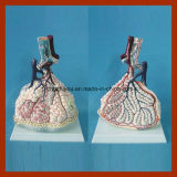 医学の教授のための鮮やかな肺Lobuleモデル