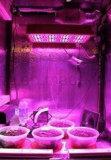 240W l'agriculture d'intérieur DEL Lettuce&Tomato élèvent la lumière (Apollo 8)