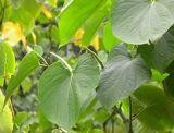 Extracto 30%Kavalactones de Kava de la fuente del fabricante de HPLC