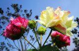음식과 보충교재를 위한 최상 목부용속의 식물 꽃 추출