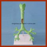 気管、気管支および部分的な気管支モデル