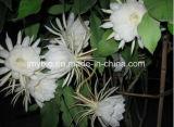 Естественная выдержка Epiphyllum, 10:1 выдержки Epiphyllum Flowder, 20:1