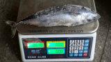질 Sea Fish From 중국 Frozen Bonito 또는 Bullet Tuna Fish Ready Stock