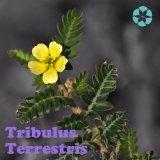 Выдержка Terrestris Tribulus/сапонины/Protodioscin