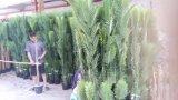 Высокое качество искусственних заводов пальмы QS-A042s6-58