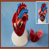 De tamaño natural del corazón Modelo 2-parte anatómica Modelo de presentación