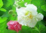 Hochwertiger Hibiscus-Blumen-Auszug für Nahrungsmittel und Ergänzung