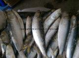 helle ansteckende gefrorene Sardine des Köder-100-150g