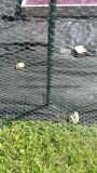 Гальванизированная шестиугольная ячеистая сеть для клетки цыплятины с конкурентоспособной ценой