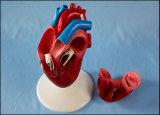 Lebensgrosses Inner-Modell-2-teiliges anatomisches Bildschirmanzeige-Modell