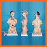 modelo anatómico del torso unisex de los 85cm 38 porciones para el suministro médico
