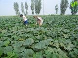 上のQualityaaの中国の緑のカボチャシード