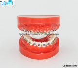 Modelo de dentes de demonstração educacional ortodôntica odontológica (DI-M01)