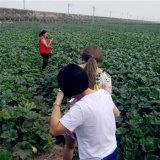 Семена тыквы кожи Shine высокого качества Китая на сбывание 10cm-11cm