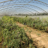 Amostra Wolfberry secado livre da manufatura da nêspera PBF