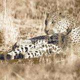 Entwurf Pigment&Disperse des Leopard-100%Polyester druckte Gewebe für Bettwäsche-Set