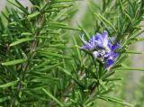 Extracto de Rosemary de alta calidad con fuerte antioxidante
