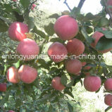Cartón de la alta calidad pila de discos Qinguan fresco chino Apple