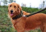 De Kraag van de Opleiding van de hond
