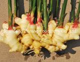 Shandong Zhifeng Alimentos jengibre fresco