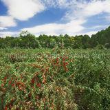 Ягода Lbp USDA Nof органическая Goji мушмулы