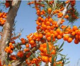 Het Poeder van het Uittreksel van het Fruit van de Duindoorn, Rhamnoides Hippophae, Het Uittreksel van de Duindoorn,