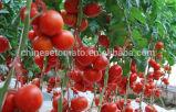 Vida útil 2 años Color Rojo pasta de tomate