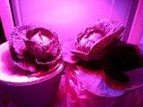 O diodo emissor de luz do UFO 18W cresce o bulbo para plantas internas do gabinete