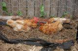 Sechseckige fechtende Draht-Filetarbeit für Bauernhof