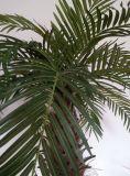 De Bonsai van Chrysalidocarpus Lutesens van de goede Kwaliteit