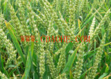 EDDHA-Tecnico di assistenza del fertilizzante organico