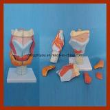 Modello anatomico umano medico della laringe (7 PCS)