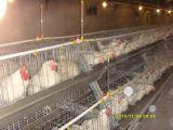 Matériels femelles de ferme de poulet de poules de Chine