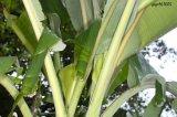 Poudre d'extrait de feuille de banane/d'extrait peau de banane/extrait de Banaba