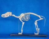Biologia de alta qualidade que ensina modelo de esqueleto canino de cão animal (R190112)