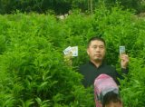 Чай засаживая с удобрением Unigrow органическим
