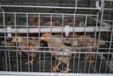 De Apparatuur van de Kooien van de Kip van de Jonge kip van het Landbouwbedrijf van het gevogelte voor Verkoop (een Frame van het Type)