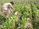 담배 설치에 취급되는 Unigrow 토양 조절기