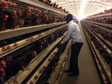 Gabbia del pollo dell'azienda avicola (strumentazione del pollame)