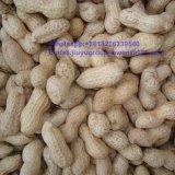 Cacahuete sin procesar cosecha larga de la dimensión de una variable de la categoría alimenticia de la nueva en shell