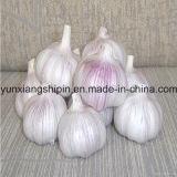 Белизна нового чеснока урожая пурпурового нормальная