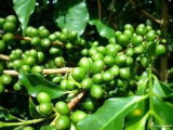 Verde del grano de café clorogénico ácido