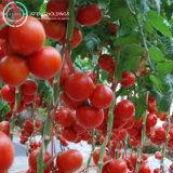 Polvere sana del pomodoro dell'alimento