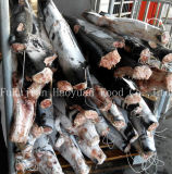 Requin bleu Hgt d'aliments surgelés