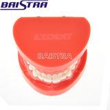 China-rote Farben-zahnmedizinischer Ausbildungs-Laborgebrauch-orthodontisches Zahn-Modell