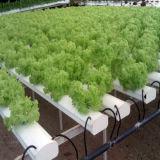 un système carrelé de culture hydroponique pour la laitue