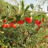 セイヨウカリンによってGojivberry証明される有機性Gojiの果実