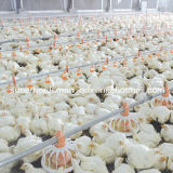 Broiler Production를 위한 가득 차있는 Set High Quality Automatic Poultry Equipment